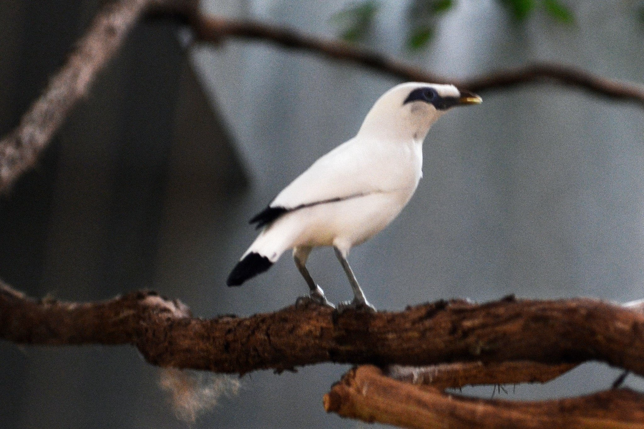 White snow/white Mynah bird