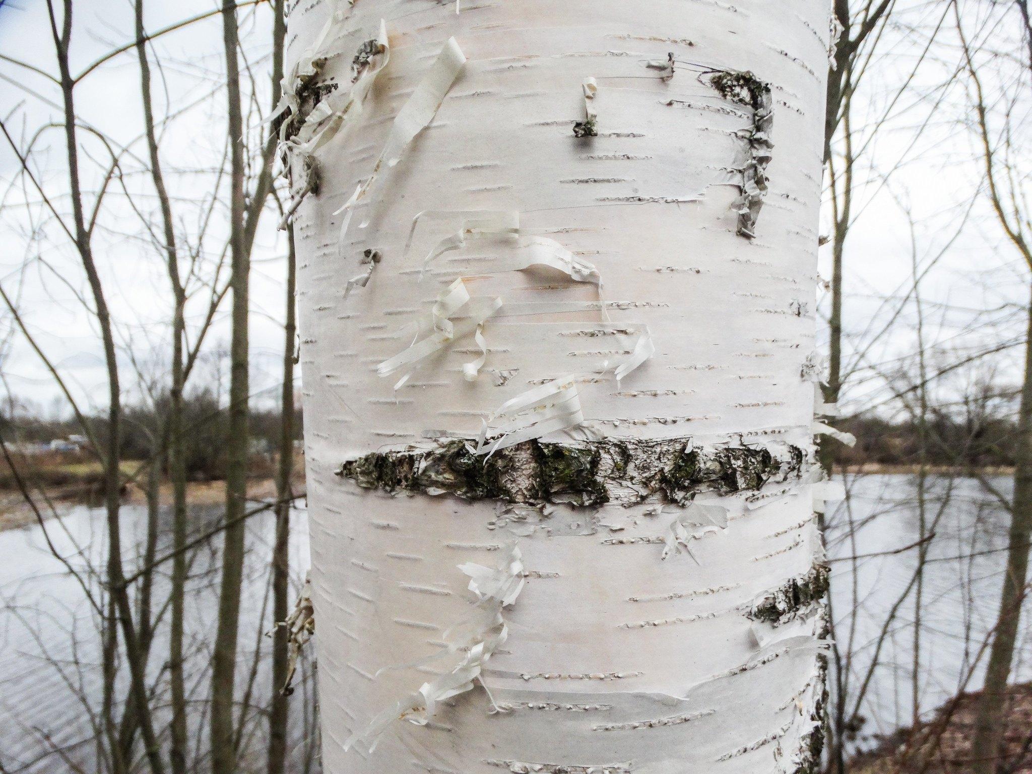 White snow white birch