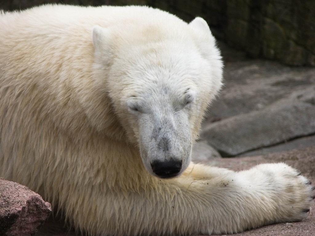 Polar bear white fur