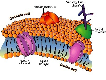 Cell membrane proteins