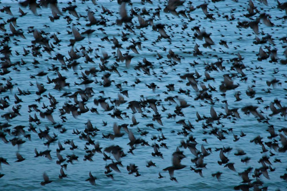 Starlings mid murmuration
