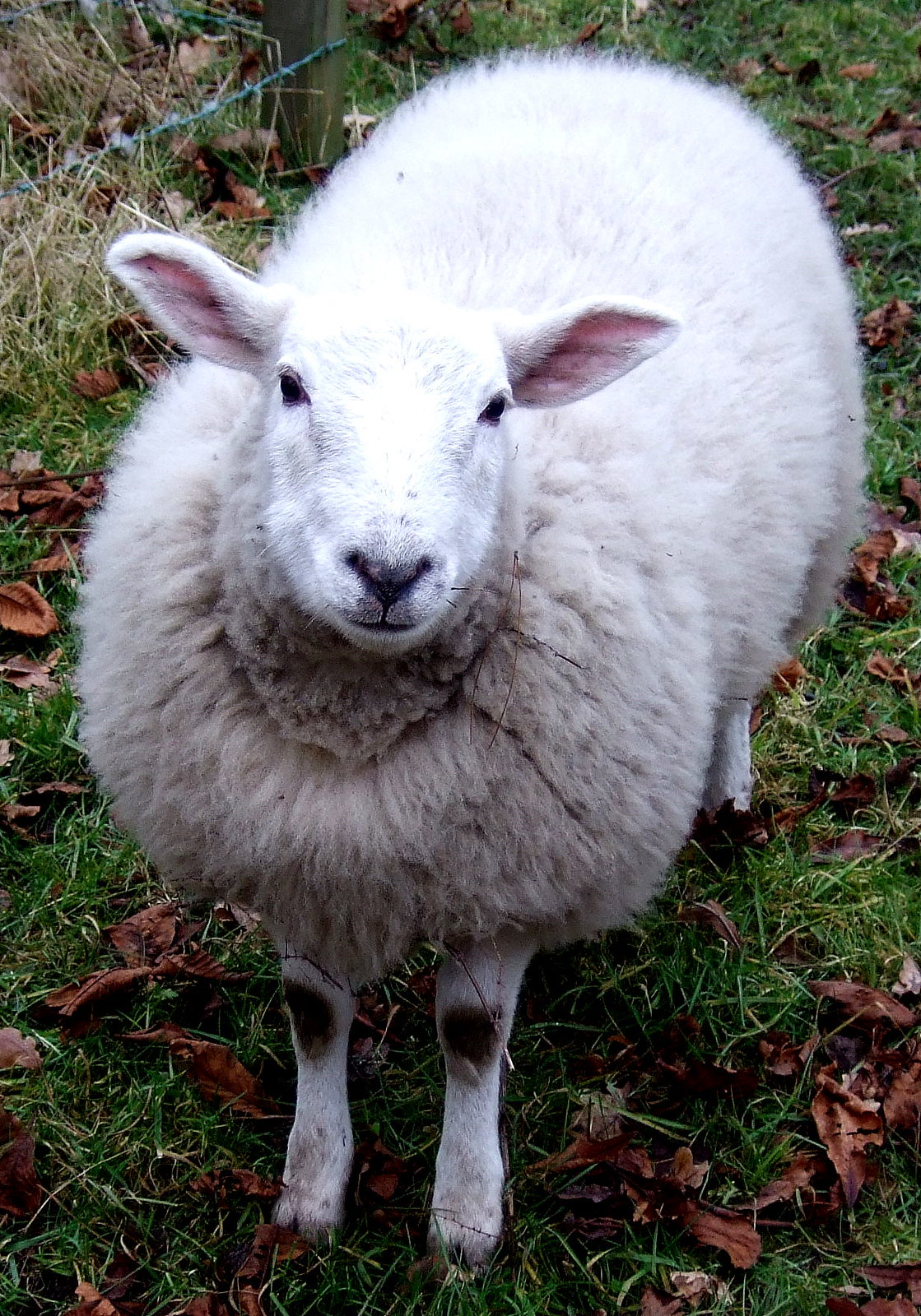 White wooly sheep